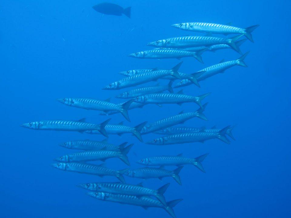 Lustrica-Diving_Barracuda-Scoglio-del-Medico_Ustica