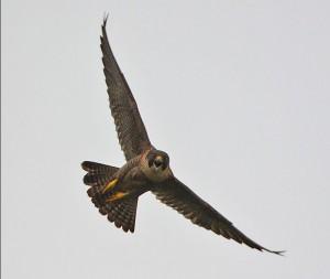 Ustica - Falco Pellegrino