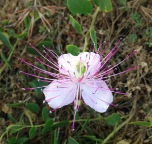 Ustica - Fiore Cappero